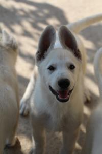 White-Swiss-Shepherd-Puppies-BTWW-Ninjas-0819-0011