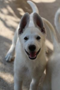 White-Swiss-Shepherd-Puppies-BTWW-Ninjas-0819-0013
