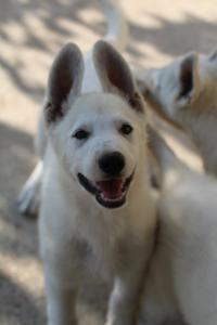 White-Swiss-Shepherd-Puppies-BTWW-Ninjas-0819-0014
