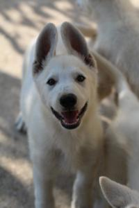 White-Swiss-Shepherd-Puppies-BTWW-Ninjas-0819-0015