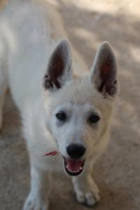 White-Swiss-Shepherd-Puppies-BTWW-Ninjas-0819-0018