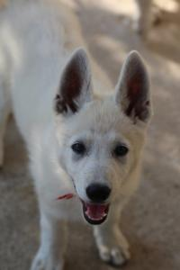 White-Swiss-Shepherd-Puppies-BTWW-Ninjas-0819-0019