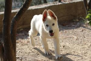 White-Swiss-Shepherd-Puppies-BTWW-Ninjas-0819-0025
