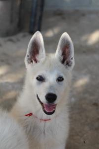 White-Swiss-Shepherd-Puppies-BTWW-Ninjas-0819-0034