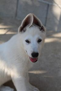 White-Swiss-Shepherd-Puppies-BTWW-Ninjas-0819-0046