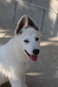 White-Swiss-Shepherd-Puppies-BTWW-Ninjas-0819-0047