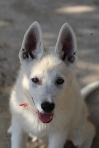 White-Swiss-Shepherd-Puppies-BTWW-Ninjas-0819-0050