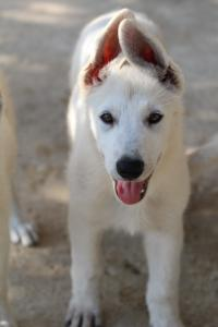 White-Swiss-Shepherd-Puppies-BTWW-Ninjas-0819-0053