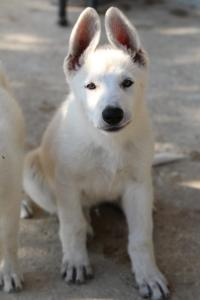 White-Swiss-Shepherd-Puppies-BTWW-Ninjas-0819-0056