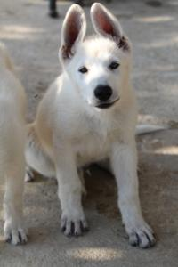 White-Swiss-Shepherd-Puppies-BTWW-Ninjas-0819-0057