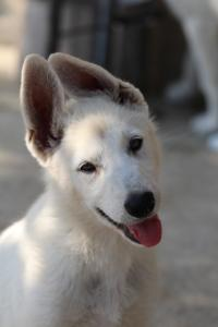 White-Swiss-Shepherd-Puppies-BTWW-Ninjas-0819-0061