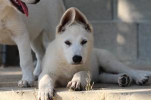 White-Swiss-Shepherd-Puppies-BTWW-Ninjas-0819-0074