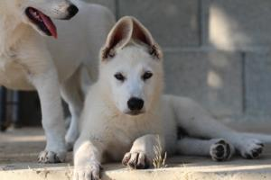 White-Swiss-Shepherd-Puppies-BTWW-Ninjas-0819-0075