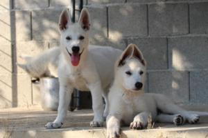 White-Swiss-Shepherd-Puppies-BTWW-Ninjas-0819-0083