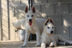 White-Swiss-Shepherd-Puppies-BTWW-Ninjas-0819-0084