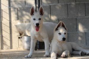 White-Swiss-Shepherd-Puppies-BTWW-Ninjas-0819-0085
