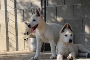 White-Swiss-Shepherd-Puppies-BTWW-Ninjas-0819-0087