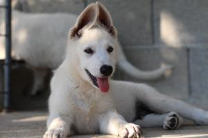 White-Swiss-Shepherd-Puppies-BTWW-Ninjas-0819-0090