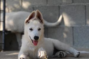 White-Swiss-Shepherd-Puppies-BTWW-Ninjas-0819-0091