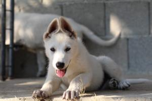 White-Swiss-Shepherd-Puppies-BTWW-Ninjas-0819-0092