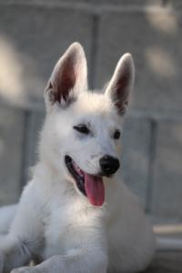White-Swiss-Shepherd-Puppies-BTWW-Ninjas-0819-0124