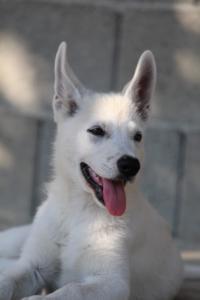 White-Swiss-Shepherd-Puppies-BTWW-Ninjas-0819-0125