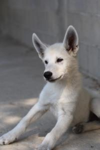 White-Swiss-Shepherd-Puppies-BTWW-Ninjas-230819-0002