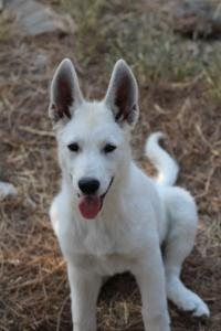 White-Swiss-Shepherd-Puppies-BTWW-Ninjas-230819-0003