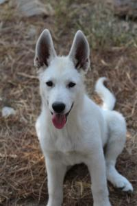 White-Swiss-Shepherd-Puppies-BTWW-Ninjas-230819-0004