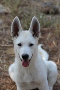 White-Swiss-Shepherd-Puppies-BTWW-Ninjas-230819-0005