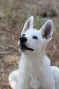 White-Swiss-Shepherd-Puppies-BTWW-Ninjas-230819-0010