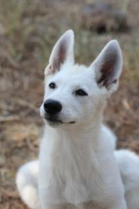 White-Swiss-Shepherd-Puppies-BTWW-Ninjas-230819-0011