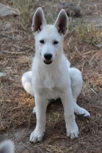 White-Swiss-Shepherd-Puppies-BTWW-Ninjas-230819-0012