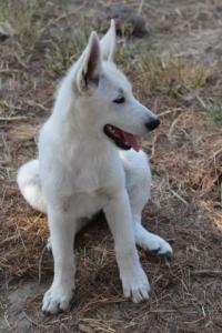 White-Swiss-Shepherd-Puppies-BTWW-Ninjas-230819-0013