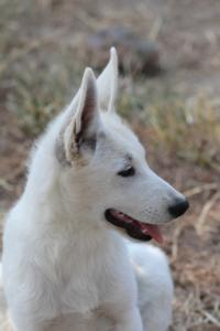 White-Swiss-Shepherd-Puppies-BTWW-Ninjas-230819-0014