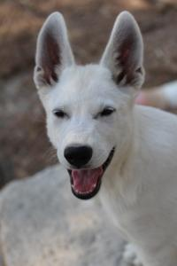 White-Swiss-Shepherd-Puppies-BTWW-Ninjas-230819-0017