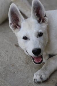 White-Swiss-Shepherd-Puppies-BTWW-Ninjas-230819-0019