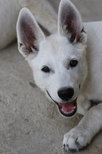 White-Swiss-Shepherd-Puppies-BTWW-Ninjas-230819-0020