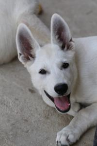 White-Swiss-Shepherd-Puppies-BTWW-Ninjas-230819-0022