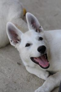 White-Swiss-Shepherd-Puppies-BTWW-Ninjas-230819-0023