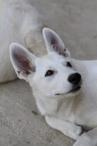 White-Swiss-Shepherd-Puppies-BTWW-Ninjas-230819-0024