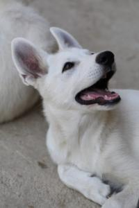 White-Swiss-Shepherd-Puppies-BTWW-Ninjas-230819-0026
