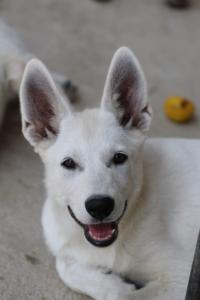 White-Swiss-Shepherd-Puppies-BTWW-Ninjas-230819-0027