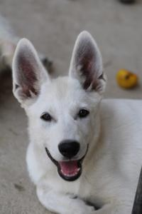 White-Swiss-Shepherd-Puppies-BTWW-Ninjas-230819-0028