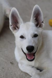 White-Swiss-Shepherd-Puppies-BTWW-Ninjas-230819-0029