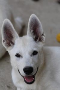 White-Swiss-Shepherd-Puppies-BTWW-Ninjas-230819-0034