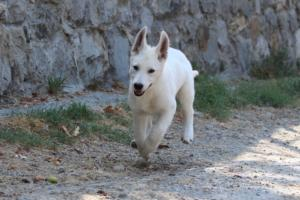 White-Swiss-Shepherd-Puppies-BTWW-Ninjas-230819-0035