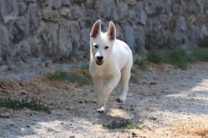 White-Swiss-Shepherd-Puppies-BTWW-Ninjas-230819-0036