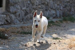 White-Swiss-Shepherd-Puppies-BTWW-Ninjas-230819-0037