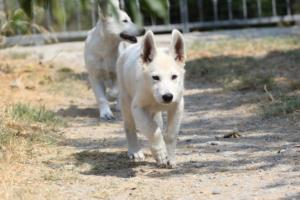 White-Swiss-Shepherd-Puppies-BTWW-Ninjas-230819-0038